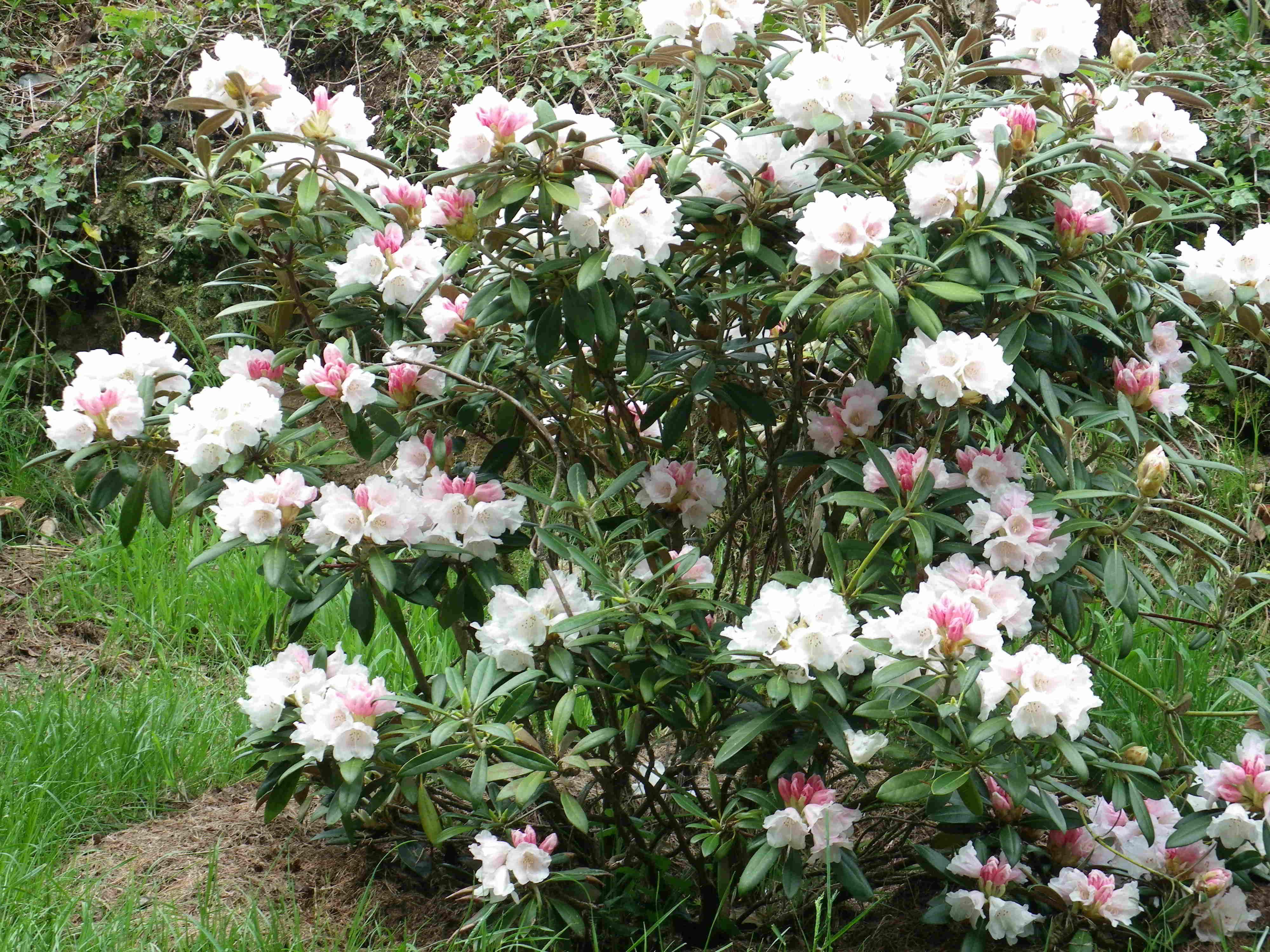 camellia Winton